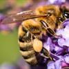 """Bienenkrankheit """"Amerikanische Faulbrut"""" im Raum Gardelegen"""